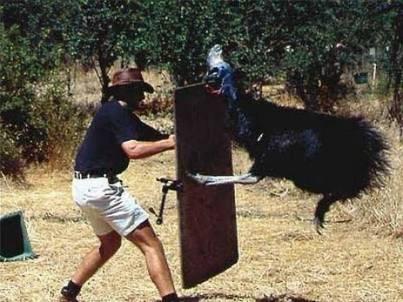 Опасные повадки казуаров