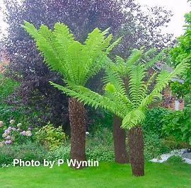 http://www.avstralianature.ru/img/pages/Австралийская (Южная) Циатея и Циатея Купера (Cyathea australis, Cyathea cooperi)