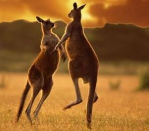 http://www.avstralianature.ru/img/pages/Рыжий кенгуру