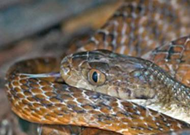 http://www.avstralianature.ru/img/pages/Тигровая змея