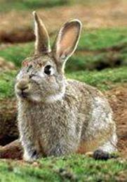 http://www.avstralianature.ru/img/pages/Дикий кролик в Австралии