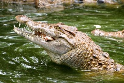 http://www.avstralianature.ru/img/pages/Морской австралийский крокодил