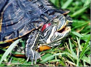 http://www.avstralianature.ru/img/pages/Красноухие черепахи угрожают экосистеме Австралии
