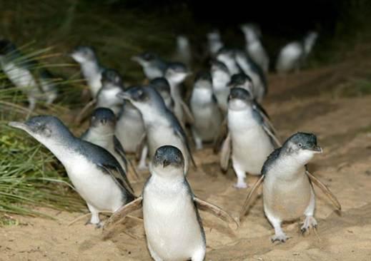 http://www.avstralianature.ru/img/pages/Австралийские пингвины