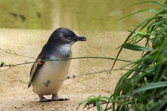 http://www.avstralianature.ru/img/pages/Малый австралийский пингвин