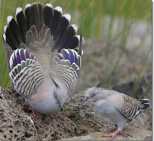 http://www.avstralianature.ru/img/pages/Бронзовокрылый голубь