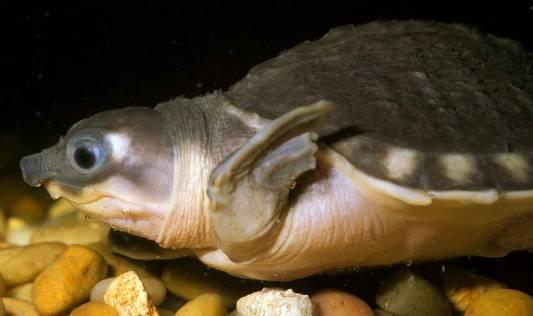 http://www.avstralianature.ru/img/pages/Двухкоготная черепаха