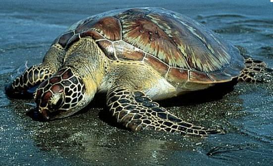 http://www.avstralianature.ru/img/pages/Зеленая Морская (Суповая) Черепаха