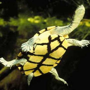 http://www.avstralianature.ru/img/pages/Гигантская змеиношейная черепаха