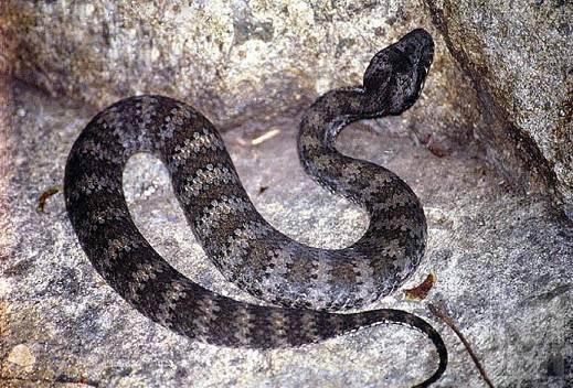 http://www.avstralianature.ru/img/pages/Смертельная гадюкообразная змея