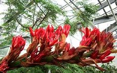 http://www.avstralianature.ru/img/pages/Дориантес Палмера – чудо австралийской флоры
