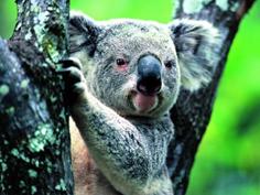 http://www.avstralianature.ru/img/pages/Коуну Коала - национальный парк