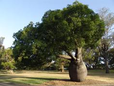 http://www.avstralianature.ru/img/pages/Брахихитон или бутылчатое дерево