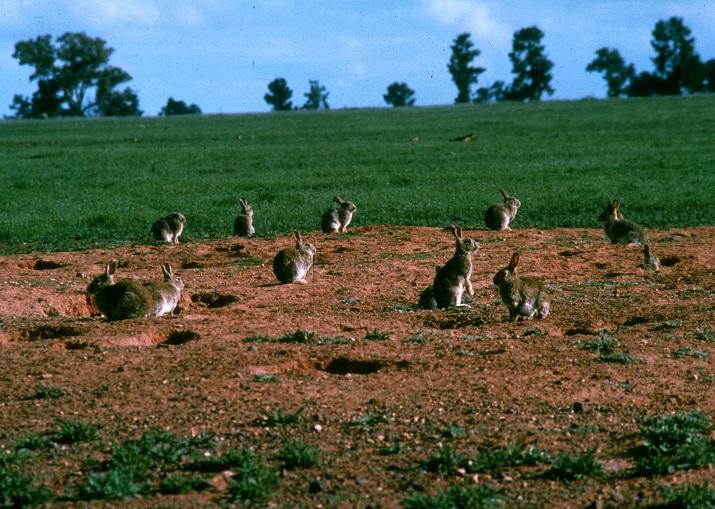 http://www.avstralianature.ru/img/pages/Австралийские кролики и другие местные «паразиты»
