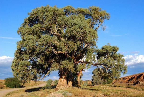 http://www.avstralianature.ru/img/pages/Иссушающие свойства австралийской флоры.