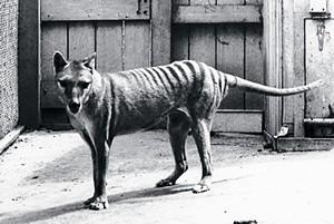 http://www.avstralianature.ru/img/pages/Почему вымер сумчатый волк?