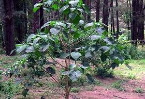http://www.avstralianature.ru/img/pages/Жалящее дерево, как социальный тест Австралии.